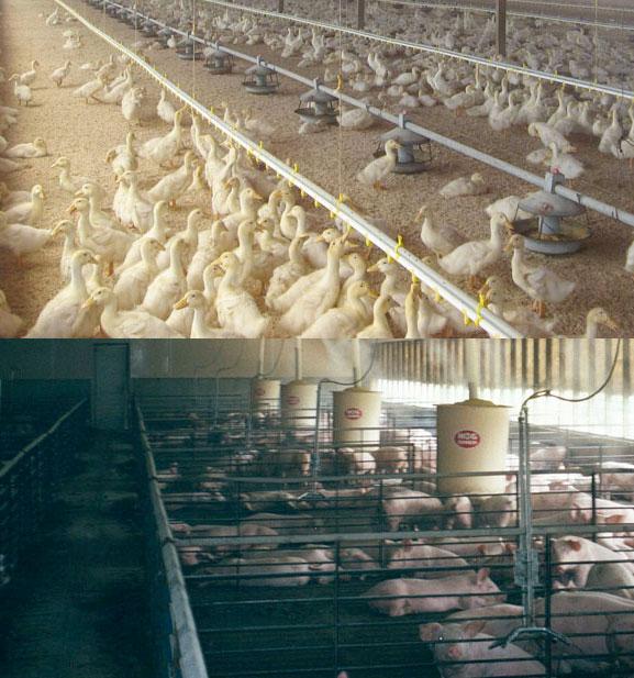 Использование систем тумана в птицеводстве и животноводстве